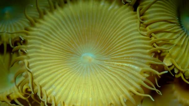 Closeup z měkkých korálů polypy Protopalythoa sp. makro 1: 1, podvodní záběry