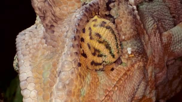 Zavření hlavy Chameleon otáčením oka. Jemenchameleon nebo kuželová hlavice Chameleon (Chamaeleo calyptratus) video, 4k-50fps