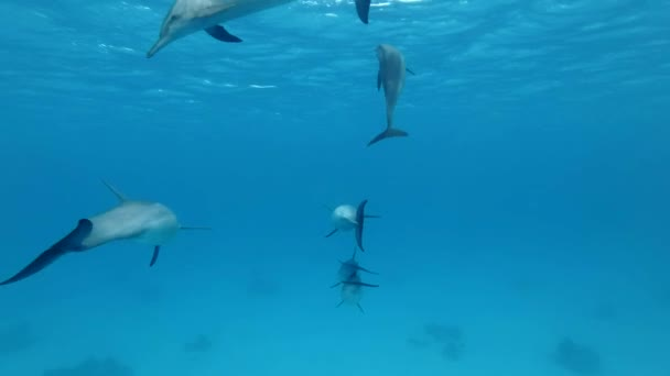 Group of young dolphins playing under surface in blue water. Slow motion, Underwater shot.