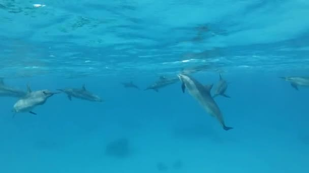 Group of dolphins plays under surface of blue water. Spinner Dolphin (Stenella longirostris), Underwater shot. Red Sea, Sataya Reef (Dolphin House) Marsa Alam, Egypt, Africa