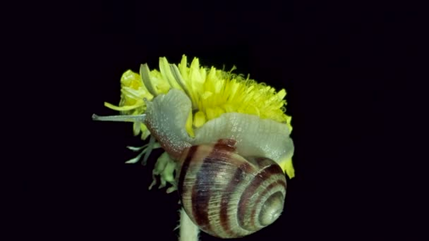 A garden snail sits on a yellow dandelion flower and eats it at night. Garden banded snail (Cepaea hortensis)  4K / 60fps