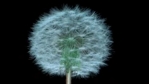 Fluffy dandelion on black background, isolated. Camera rotation 360 degrees  4K / 60fps