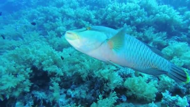 Közeli, fiatal Napóleon hal úszás lágy korallok háttérben. Humphead Wrasse vagy Napoleonfish-Cheilinus undulatus, kövesse lövés, víz alatti felvételek. 4k-60 fps