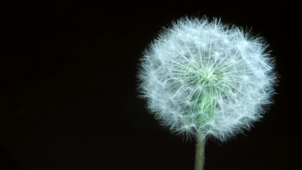Detail of past bloom dandelion isolated on black background. Camera rotation 360 degrees  4K / 60fps