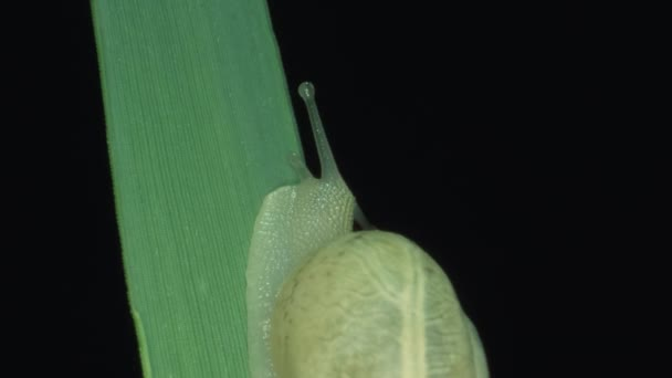 Little snail slowly crawling on a green blade of grass in the night. Black background, isolated. Macro 1:1
