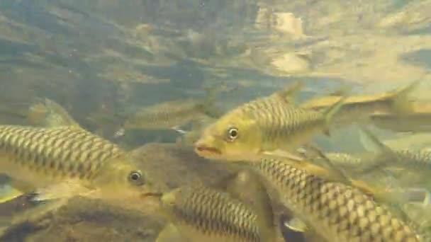 Iskola két halfaj úszik a hasonló-karcsú razbóra (razbóra daniconius) és a Side-csíkos Barb (systomus pleurotaenia) endemikus Srí Lanka, Sinharaja Forest Reserve