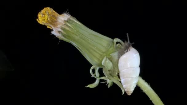 small snail crawling along a dandelion bud at night. Macro shot 1:1, 4K - 50fps