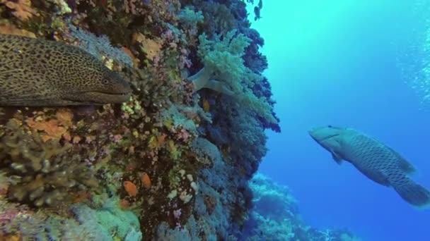 Moray néz ki a zátony fal, Napóleon hal úszik a kék víz a háttérben. Óriás Moray-Gymnothorax javanicus) és Humphead Wrasse vagy Napoleonfish-Cheilinus undulatus.