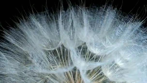 Otáčející se semenná květina, vrcholek květiny. Extrémní zblízka, otáčení 360 stupňů