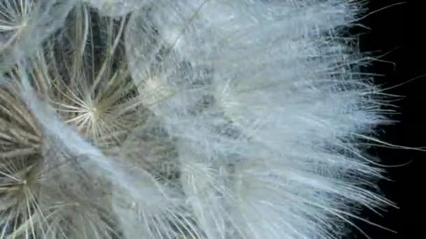 Podrobnosti o květinové hlavě. Otáčející se semeno, extrémní uzavření. Rotace 360 stupňů