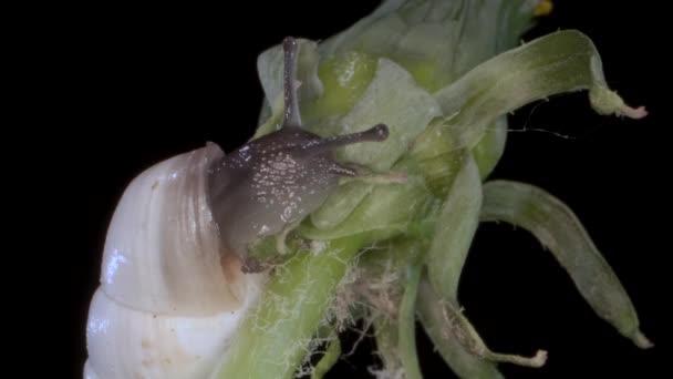 Portrét velmi malého hlemýždě, který se plazí po nočním pupku v noci. Makro 2:1, 4k-50fps