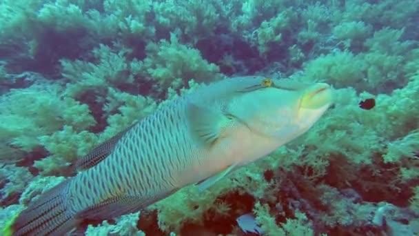 Portré egy fiatal kíváncsi Napóleon hal úszás közel puha korall háttérben. Humphead Wrasse vagy Napoleonfish-Cheilinus undulatus, víz alatti felvételek