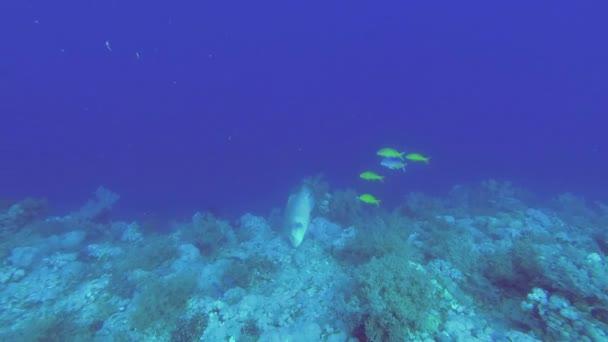 Pesce Napoleone raccoglie cibo dal fondo del mare. Humphead Wrasse o Napoleonfish - Cheilinus undulatus, colpi subacquei