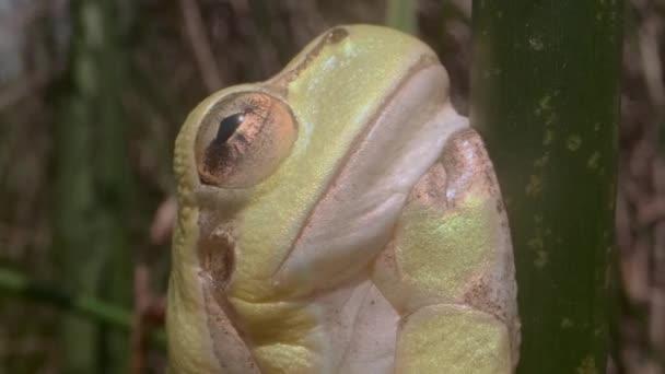 Porträt des Baumfrosches, der auf einem grünen Stiel auf einem Schilfhintergrund sitzt. Extreme Nahaufnahme. Europäischer Baumfrosch (Hyla arborea, Rana arborea) im natürlichen Lebensraum.