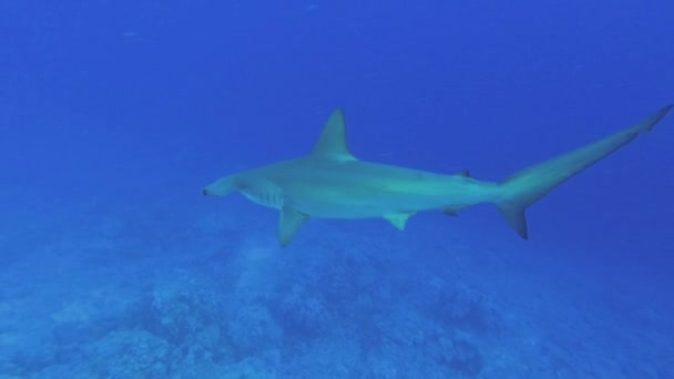 Langsam schwimmt der Hammerhai im blauen Wasser. Jakobsmuschelhammerkopf oder Hammerhai - sphyrna lewini, Unterwasseraufnahmen