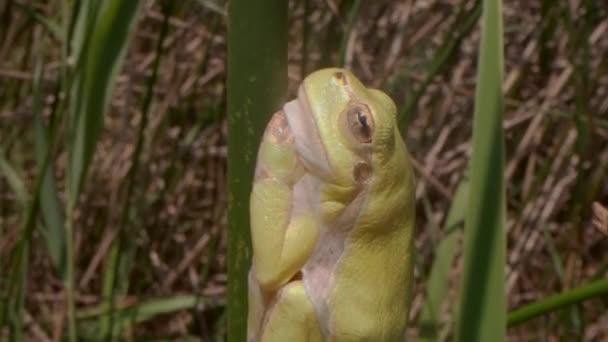 Nahaufnahme von Baumfrosch sitzt auf einem grünen Stiel auf einem Schilfhintergrund. Europäischer Baumfrosch (Hyla arborea, Rana arborea) im natürlichen Lebensraum.