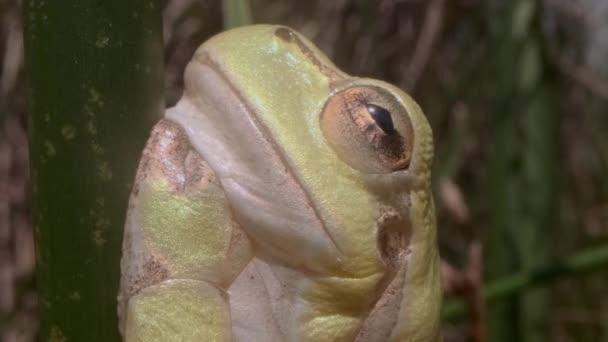 Portrét žáby ze stromu seděl na zeleném stonku na pozadí rákosí. Extrémní blízko. Evropská stromová žába (Hyla arborea, Rana arborea) v přírodním prostředí.