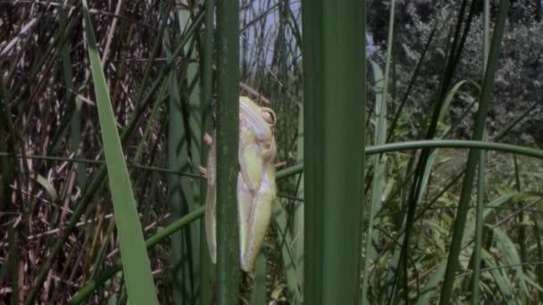 Primo piano della rana Tree che si nasconde dietro un gambo verde su uno sfondo di canne. Rana arborea europea (Hyla arborea, Rana arborea) nellhabitat naturale.