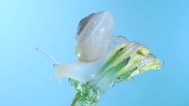 Hlemýždi sedí na tmavém pupku s vodou v nízkém světle na modrém pozadí. Makro 1:1, 4k-50fps