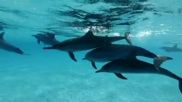 Az úszó delfinek a víz alatt úsznak. Spinner Dolphin (Stenella longirostris), víz alatti lövés, closeup. Red Sea, Sataya Reef (Dolphin House) Marsa Alam, Egyiptom, Afrika