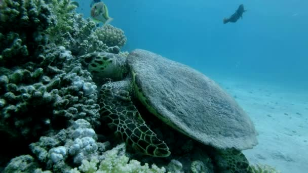 Slow motion, Sea Turtle sits on a coral reef and eats soft coral. Hawksbill Sea Turtle or Bissa (Eretmochelys imbricata) Underwater shot,  Top view, Closeup. Red Sea, Abu Dabab, Marsa Alam, Egypt, Africa