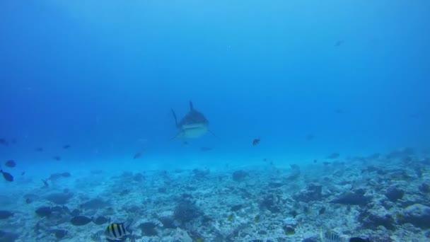 Tigerhai auf Nahrungssuche kreist in flachem Wasser über dem Grund des Riffs - Indischer Ozean, Insel Fuvahmulah, Malediven, Asien