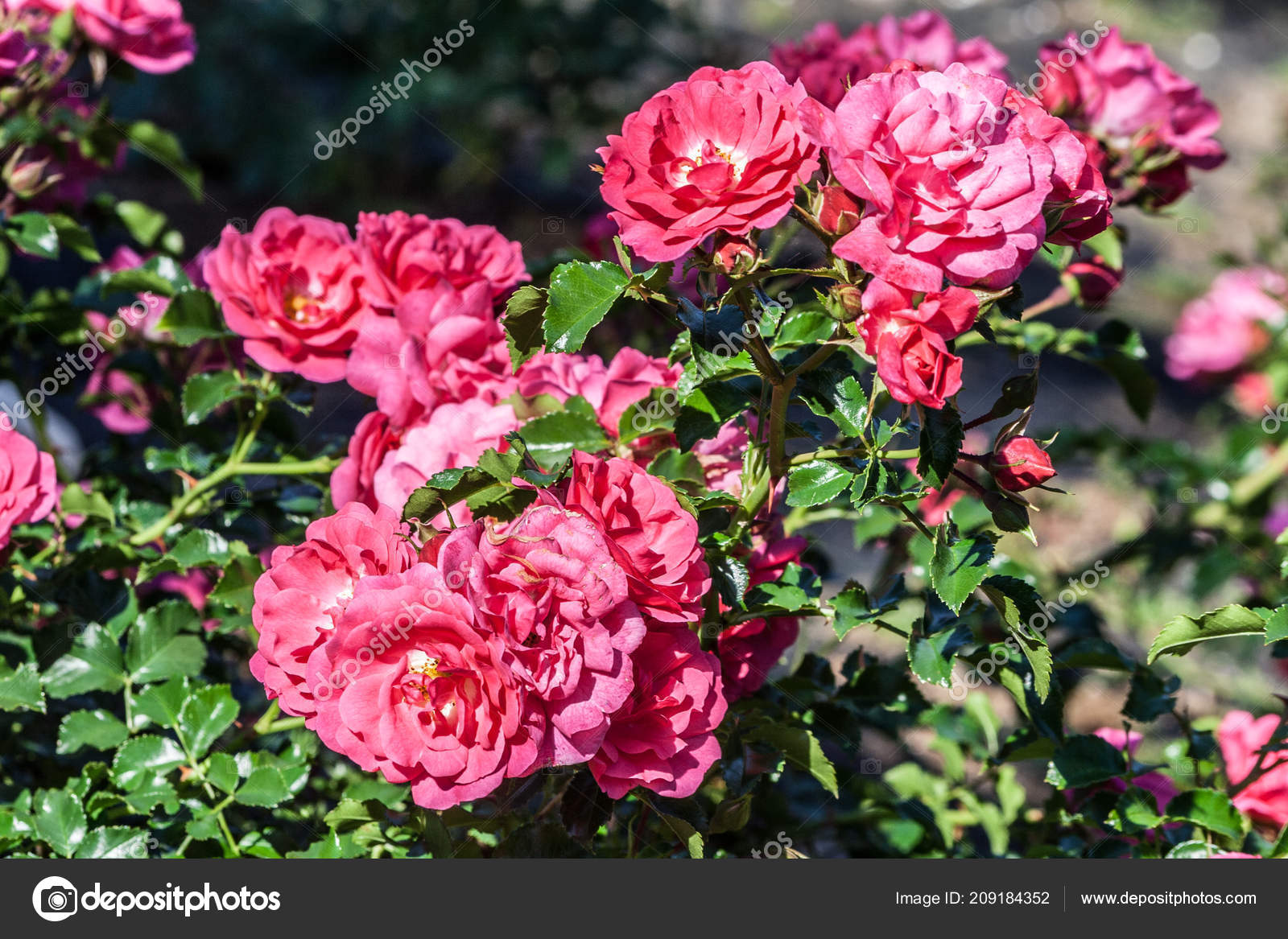 Rose cluster branch flowers double pink flowers plant illuminated rose cluster branch flowers double pink flowers plant illuminated sun stock photo mightylinksfo