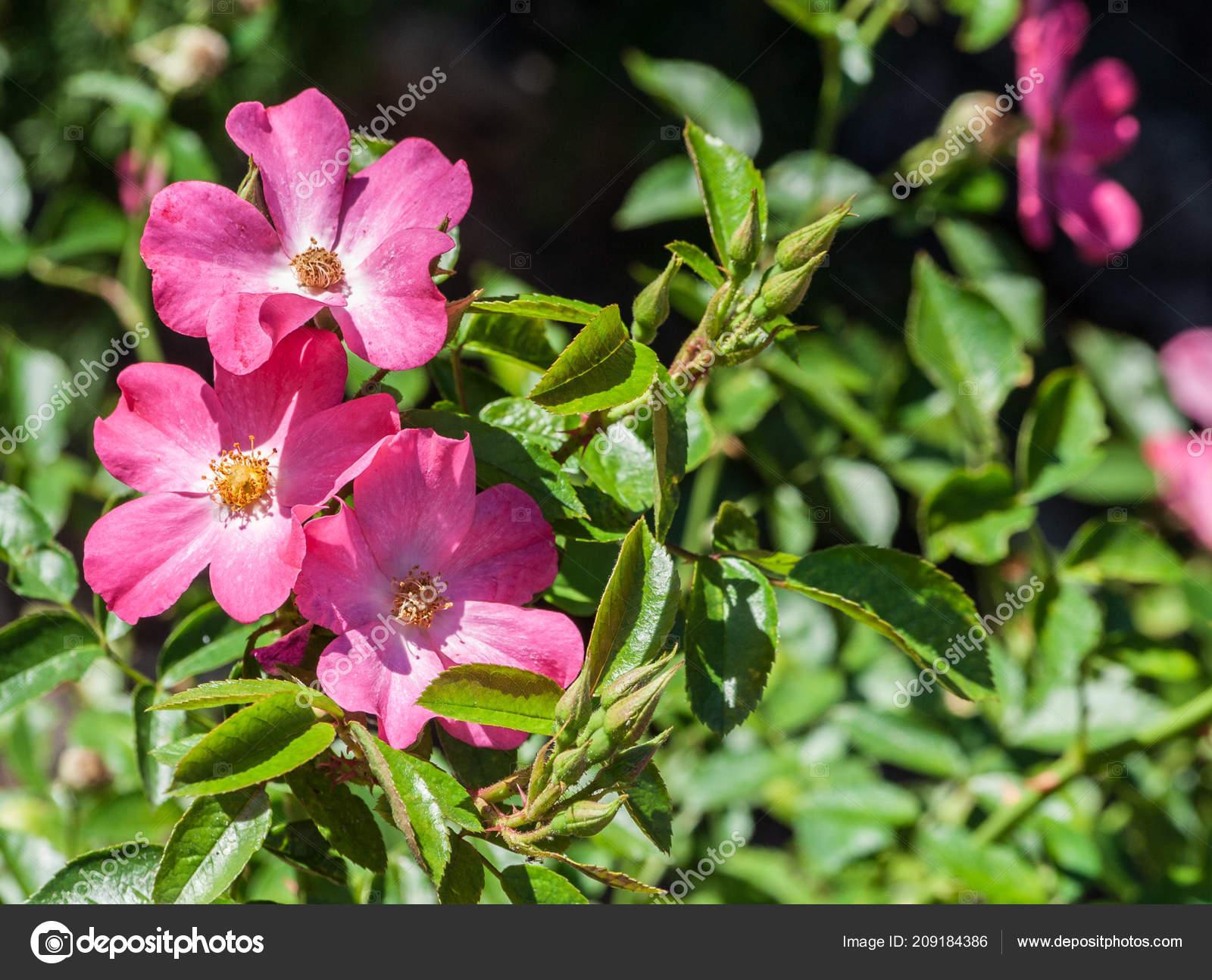 Grau Rosado Tapete Matador Três Rosa Flores Close Flor Borda