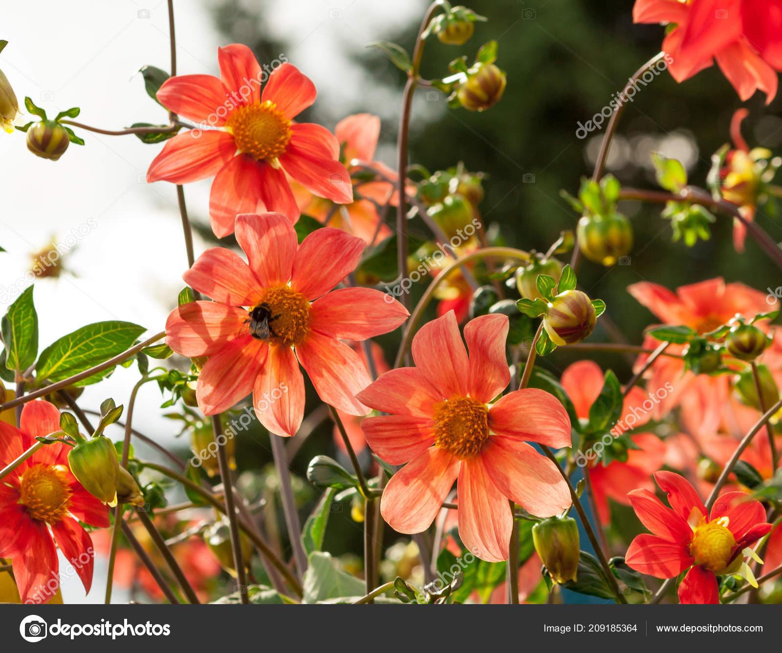 Lot Orange Flowers Buds Aster Thin Petals Orange Color Yellow