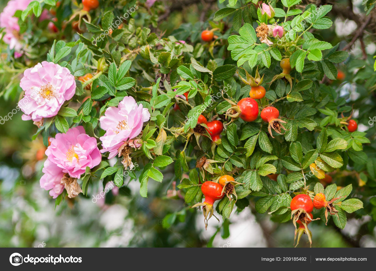 Unas Rosas Muchos Los Escaramujos Una Rama Grande Verano