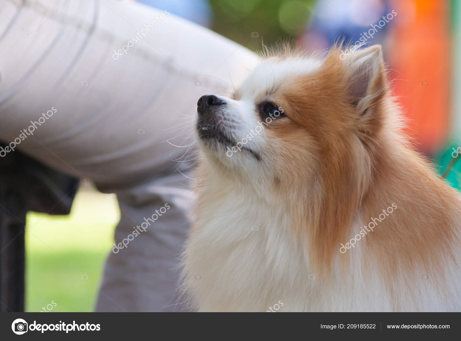 Portrait Pomeranian Spitz White Brown Color Background Man Leg Pants