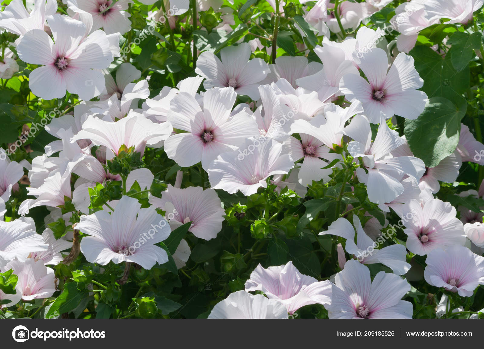 Lavatera White Dwarf Pink Blush Beautiful White Flowers Pink Stripes