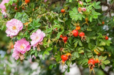 a few pink roses and many rose hips on a large branch, late summer and early autumn, the last flowering plants, green foliage along with yellow