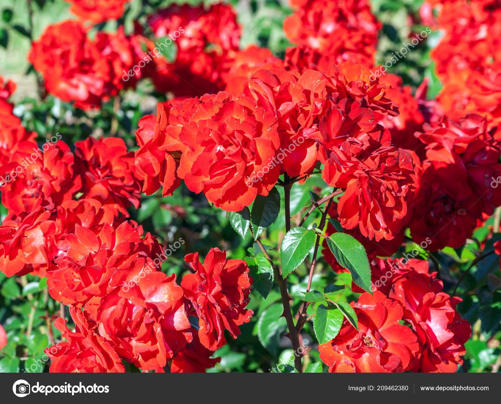 Rose Grade Domstadt Fulda Flowers Roses Dark Red White Streaks