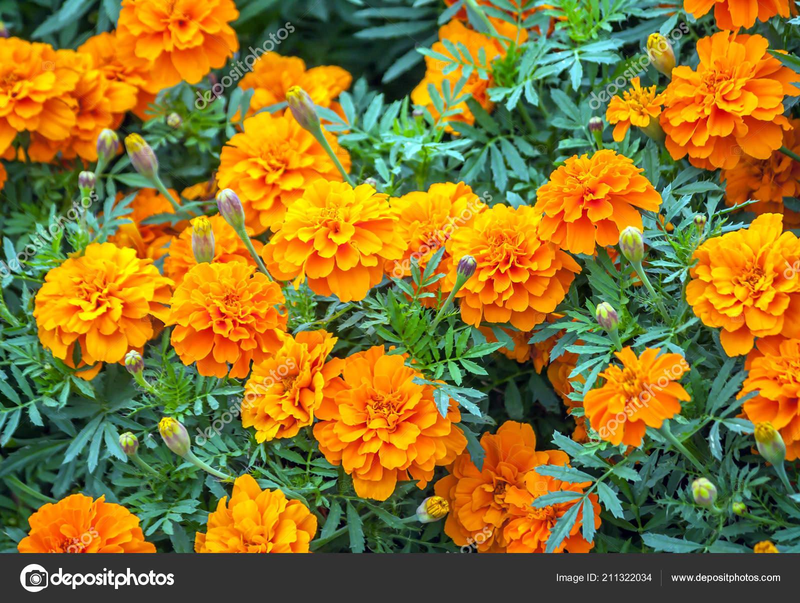 Tagetes Variety Flowers Bonanza Deep Orange Symbol Health