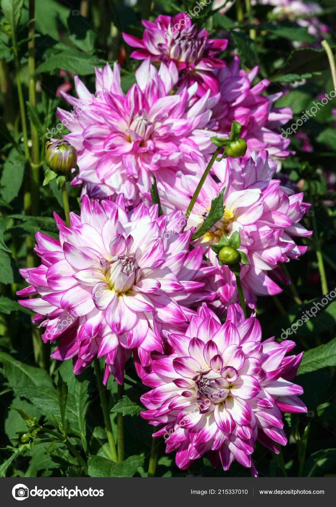 Цветы из астровых
