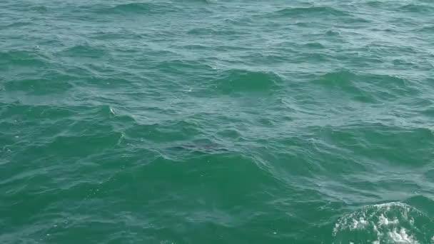 Rövidcsőrű Közönséges delfin (Delphinus delphis) ugrik át a víz