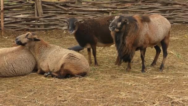 Several sheep on a rural farmstead.