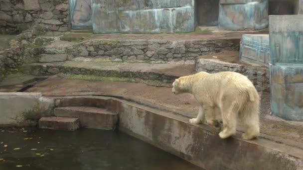 Lední medvěd (Ursus maritimus) v zoo