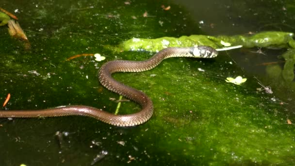 Grass snake crawls on aquatic plants and leaves the frame, middle shot.