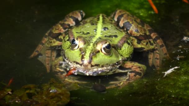 Lago rana tra piante acquatiche, close-up