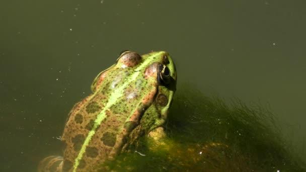Lake Frog or Marsh frog (Pelophylax ridibundus).