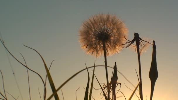 Načechraný Pampeliška na pozadí zapadajícího slunce, široký záběr.