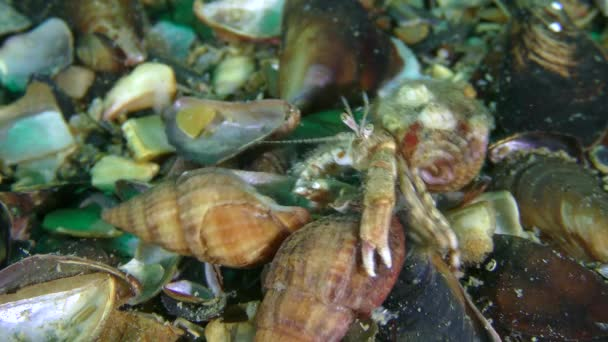 Love affair of Hermit crabs: a male drags not only the female, but also the opponent clinging to it.