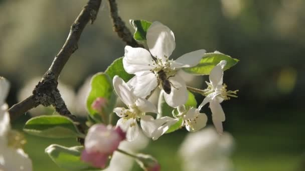 Wild bee on blossoming apple-tree branch. Slow motion.