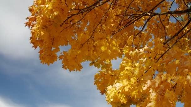 Autumn maple against the blue sky.