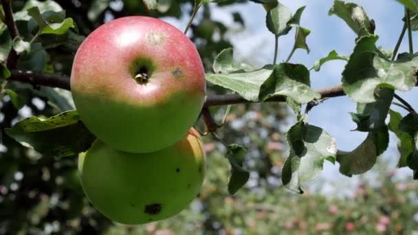 Red juicy apple on the tree.