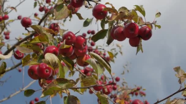 Apple trees with red apples in orchard.
