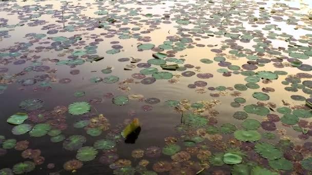 Krásné jezero lilie při východu slunce, 4k letecké drone pohled