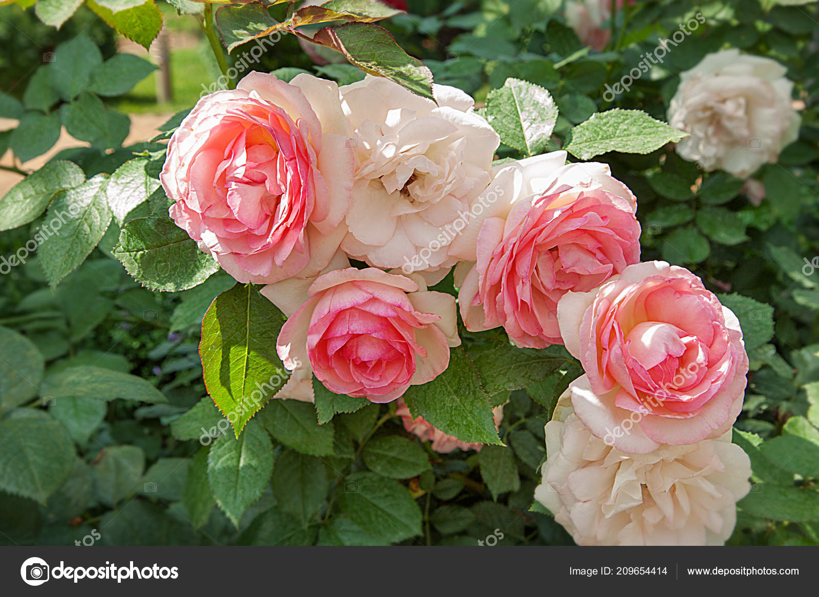 Beautiful White Pink Roses Garden Cluster Flowers Leaves Illuminated
